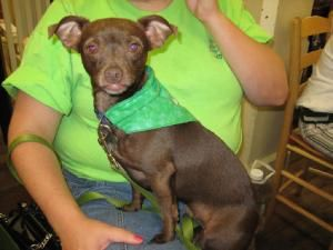 A Taco Is An Adoptable Chihuahua Dog In Maryville Tn Hi I M Taco