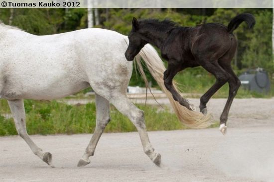 Fuego Al Sabah, a 2012 Finnish Warmblood colt having some fun.  Look at that height.