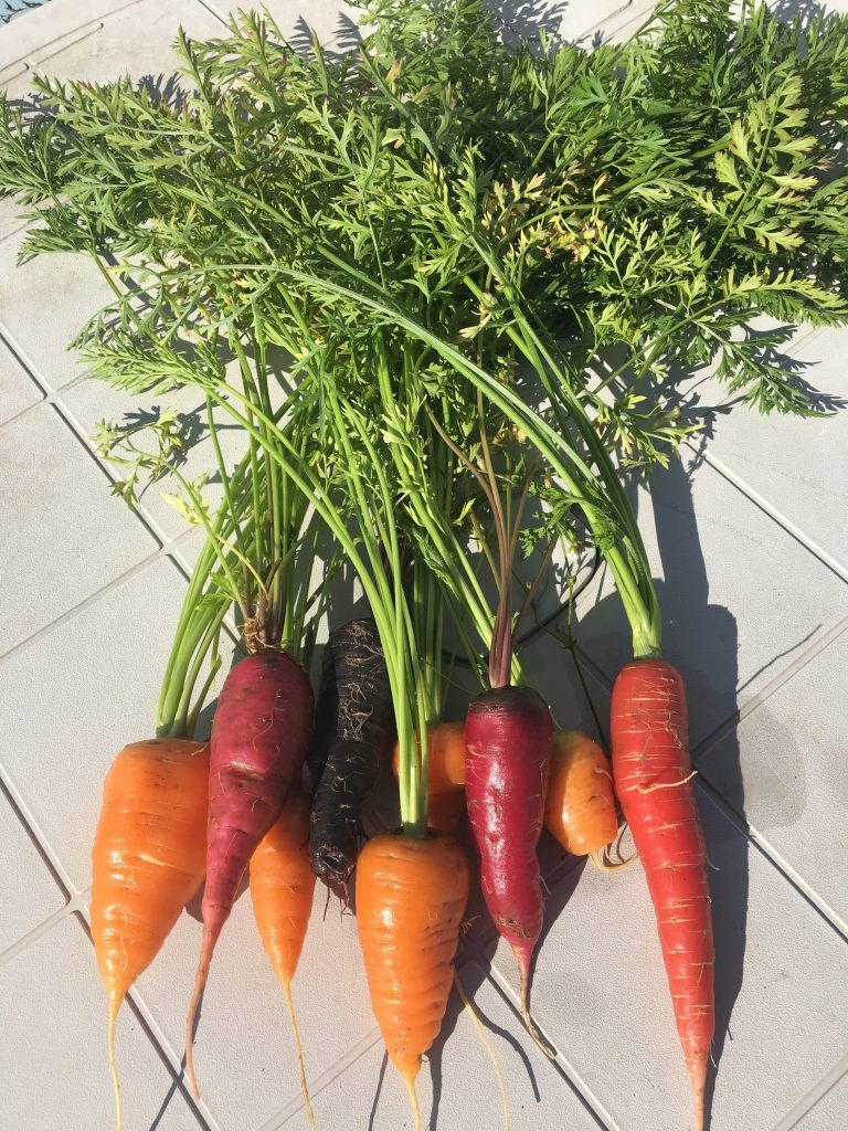 Seed Saving How To Save Carrot Seeds Kaits Garden Farms Living