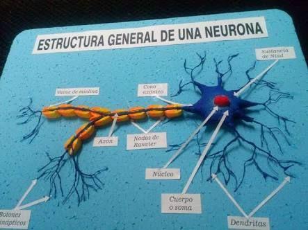 Resultado De Imagen Para Maqueta De La Neurona Y Sus Partes