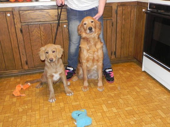 Miniature Golden Retriever On Left And Full Grown Miniature