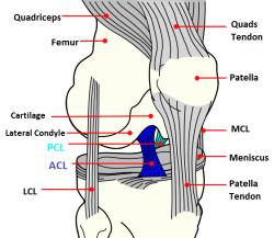 Anatomy of the knee highlighting the cruciate ligaments recovery anatomy of the knee highlighting the cruciate ligaments ccuart Image collections