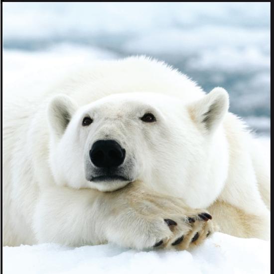 Buy From The World Animal Protection Shop Polar Bear Baby Polar Bears Bear Pictures