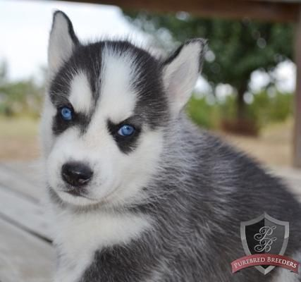 Siberian Husky Puppies For Free To Good Homes Husky Puppy Siberian Husky Puppies Pets