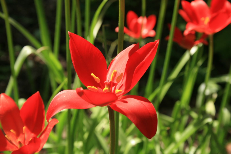 tulipa sprengeri - Google Search