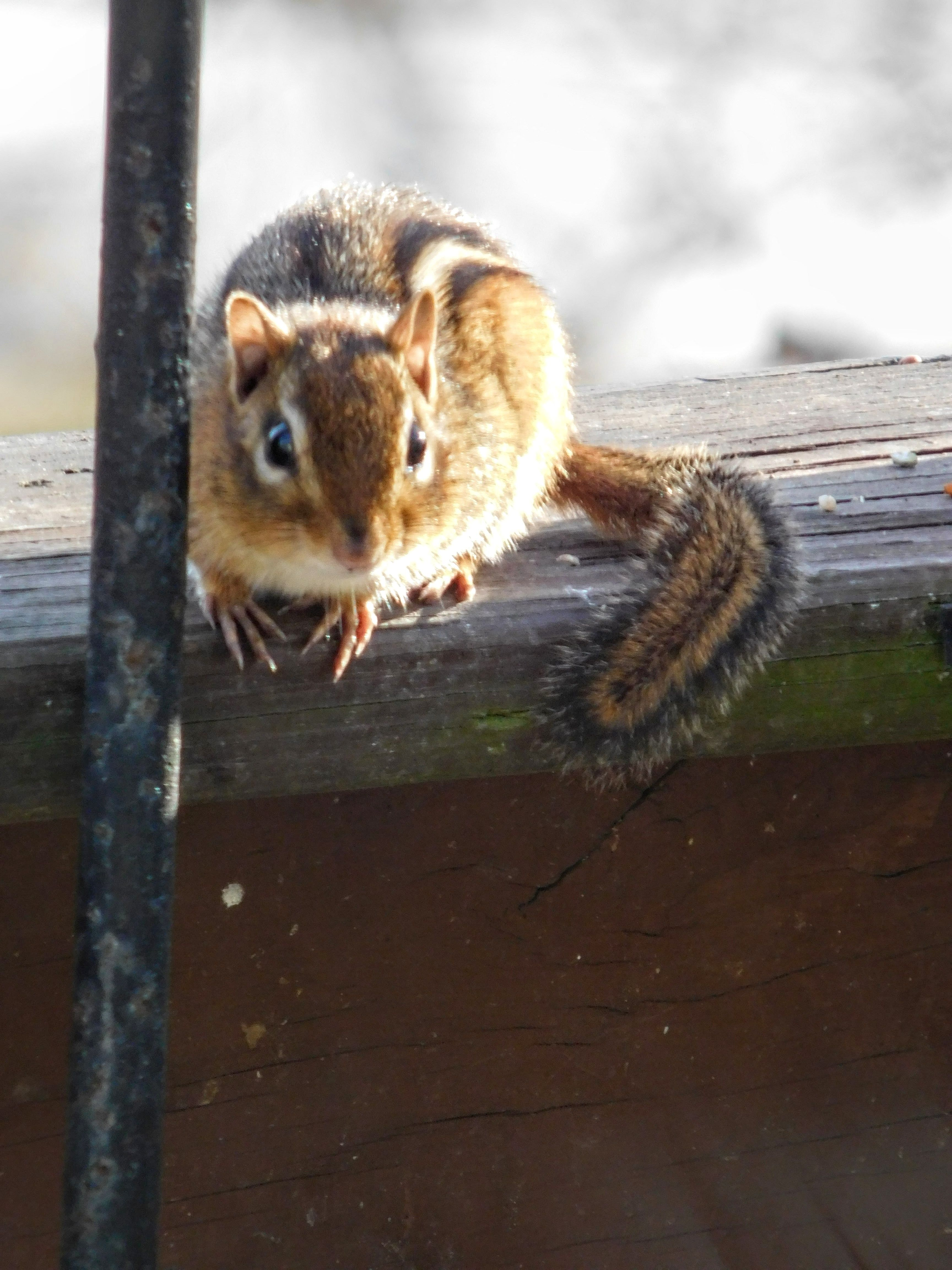 Chipmunk / I'd say he has stored a gal. of birdseed for