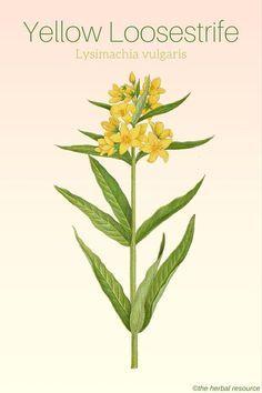 Yellow Loosestrife – Medicinal Applications and Benefits