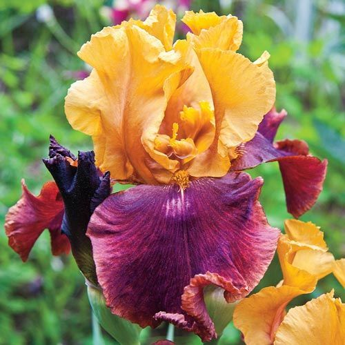 Supreme Sultan Tall Bearded Iris Gold And Dark Red Iris Growing Plants Iris Bulbs For Sale Flowers Perennials