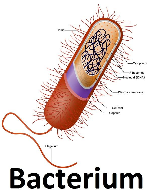 Bacteria Cell (credit - Wikipedia) | bacterias | Pinterest ...