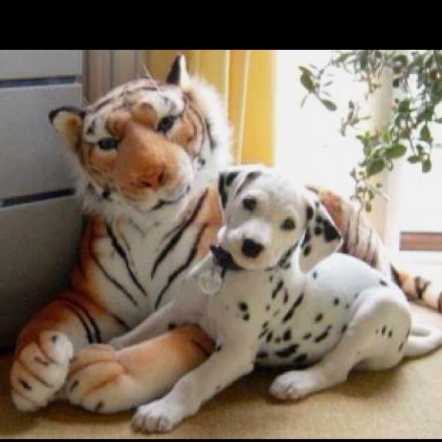 Dalmatian Dalmatian Dogs Animals Spots Dalmatians Https