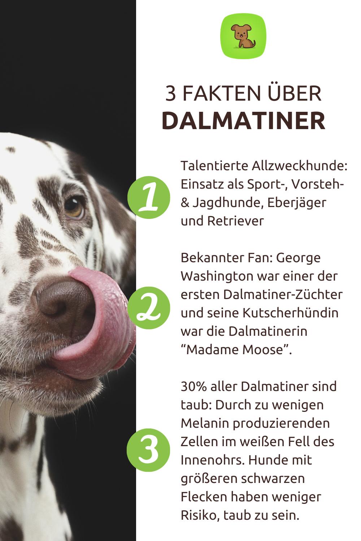 3 Fakten Uber Dalmatiner Hunde Dalmatiner Jagdhunde