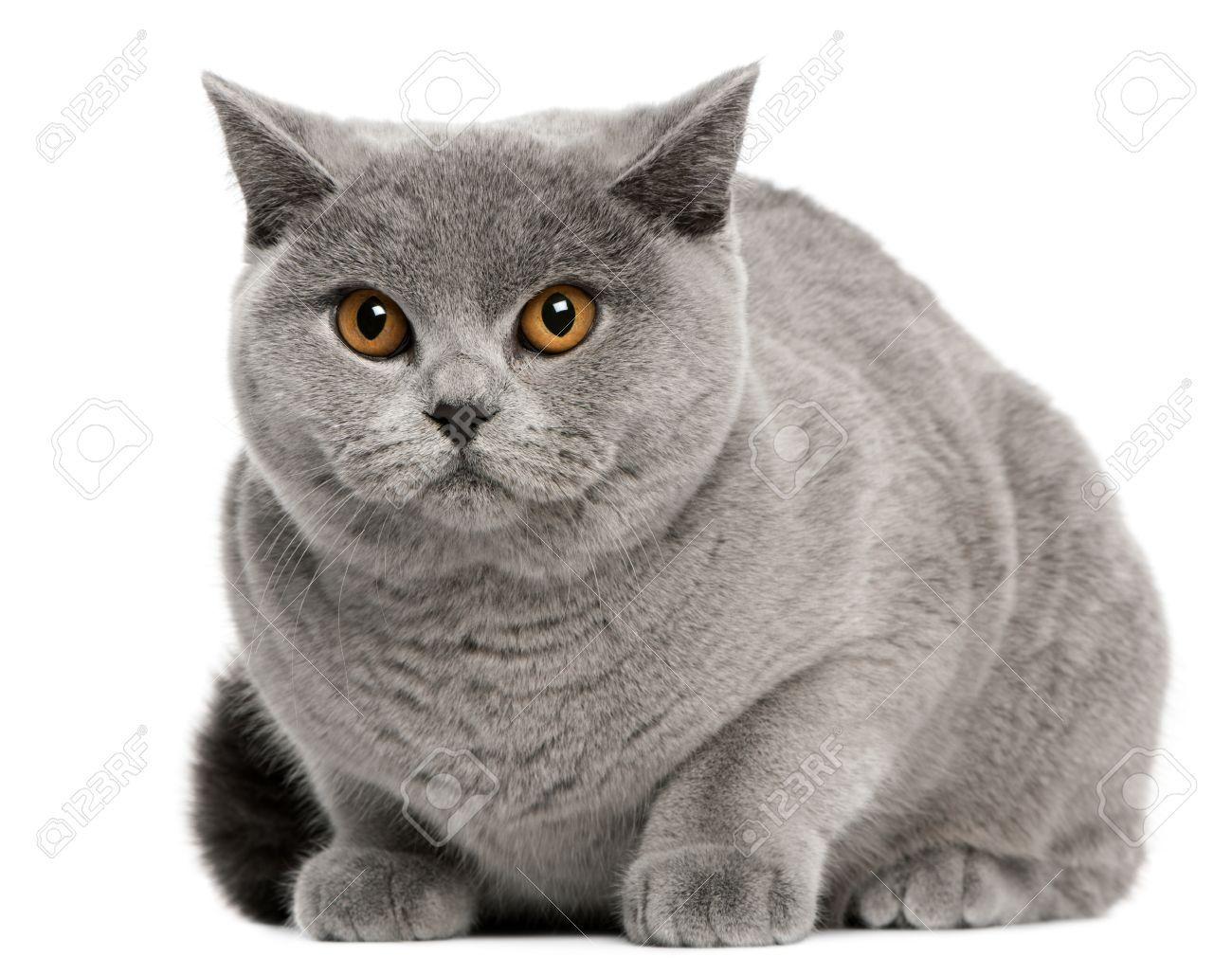 British Shorthair Cat Stock Photos Images Royalty Free British Shorthair Cat Images And Pic British Shorthair Cats British Shorthair Most Beautiful Cat Breeds