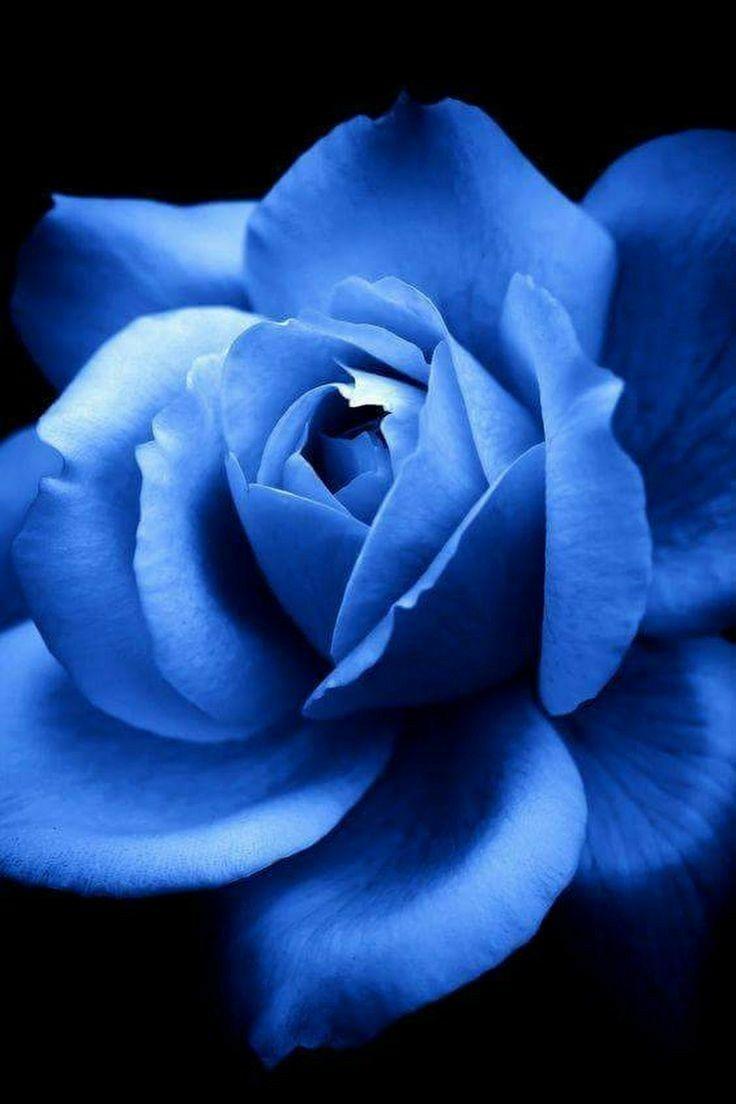 Do very beautiful plants pinterest blue roses flowers and do very beautiful izmirmasajfo