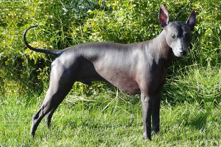 Peruvian Inca Orchid Dog Breed Information and History