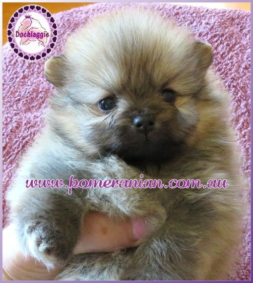 Pin By Marsha Anderson On Pomeranian Pinterest Pomeranian