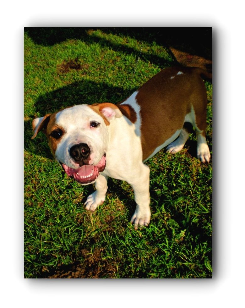 Pitbulls Art Pitbulls And Parolees New Season 2018 Click Visit Link For More Pitbullsfacts Pitbullsquotes Pitbull Dog Pitbulls Pitbull Puppies