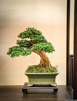 Eda Uchi Kai Bonsai Ten 2013