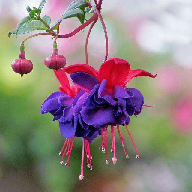 Like Little Ballerinas Fuchsia Flower Fuchsia Garden Fuchsia Plant