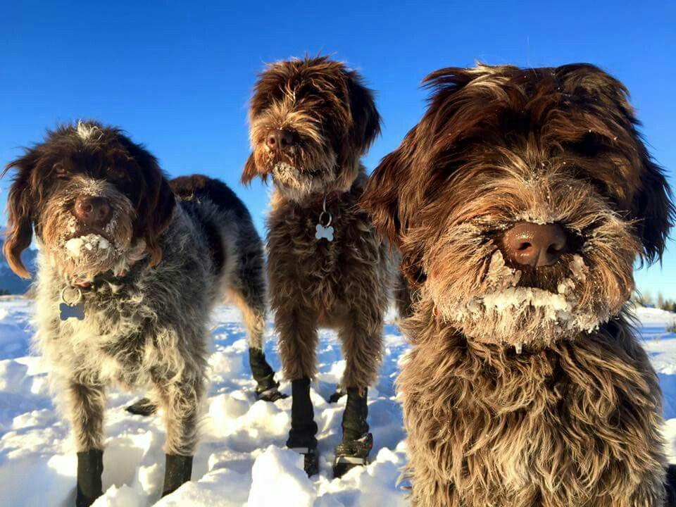 """Wirehaired Pointing Griffons  ~ Classic """"Snow Glow"""" Look"""