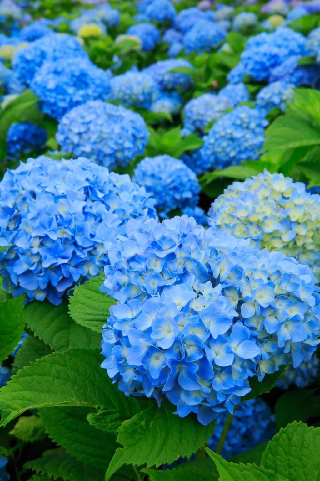 10 Clever Uses For Coffee Grounds Hydrangea Garden Uses For Coffee Grounds Hydrangea Care
