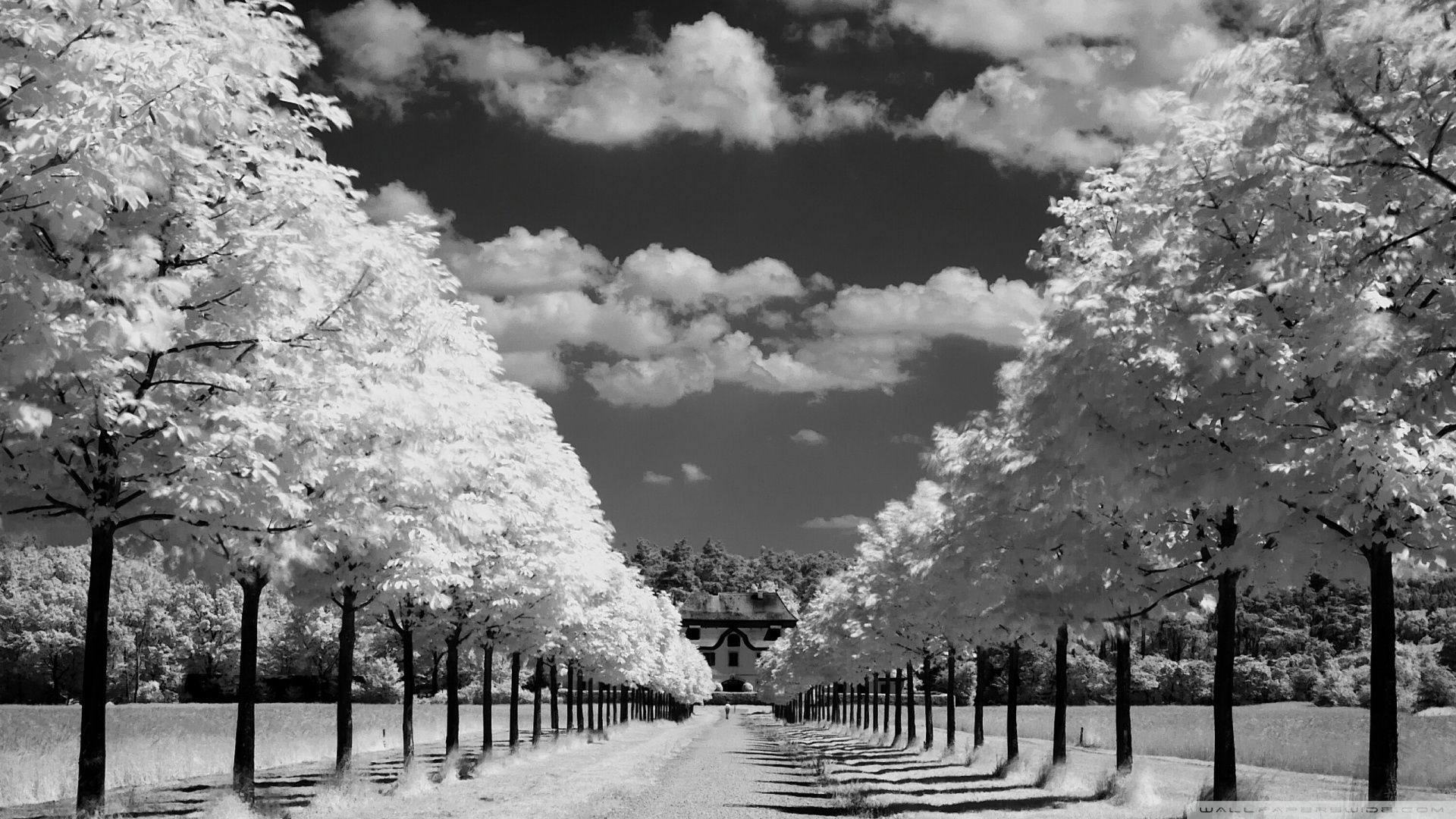 Ginkgo trees wallpaper high definition high quality widescreen - Trees Along The Road Black And White Hd Wide Wallpaper For Widescreen
