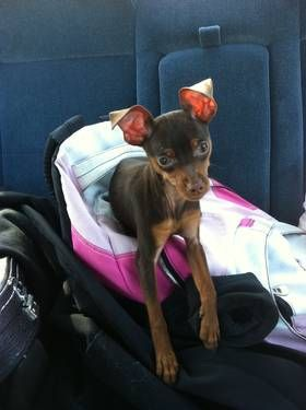 Purebred Teacup Miniature Pinscher Looks Like Jester Pinks