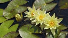 Water lily Nymphaeum leaves Flowers