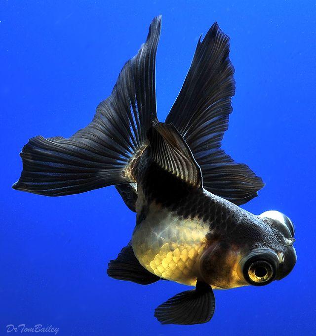 New Pet Fish Talk Show. Pet fish, Ryukin goldfish, Fish