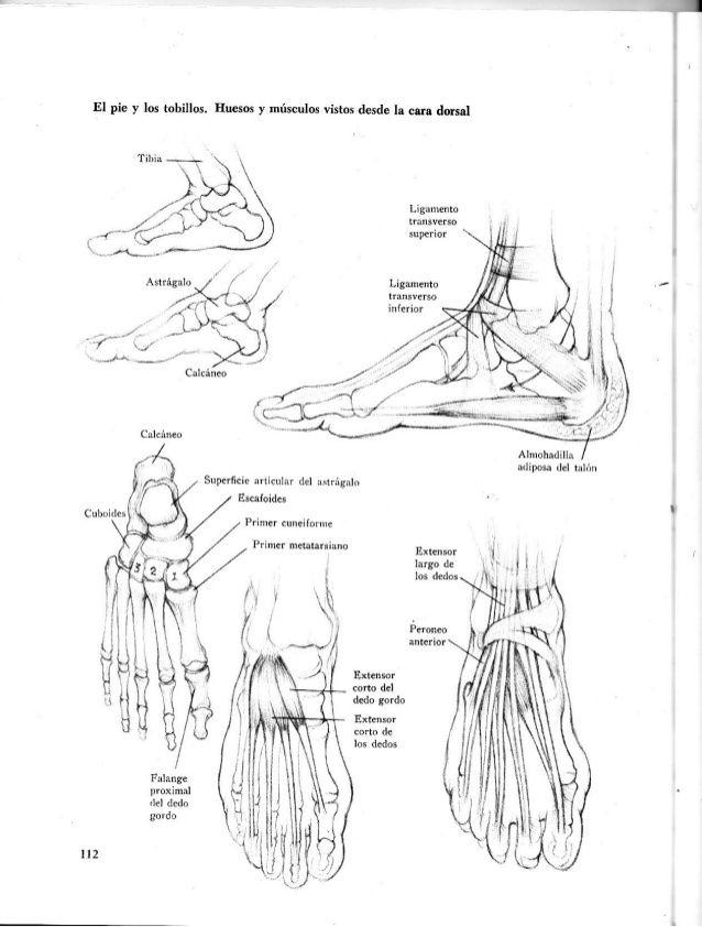 Encantador Anatomía De La Almohadilla Del Talón Colección - Anatomía ...