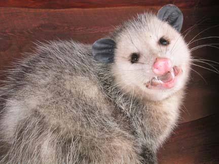 Planet Possum: Nice photo of an adult possum  | Opossums | Opossum