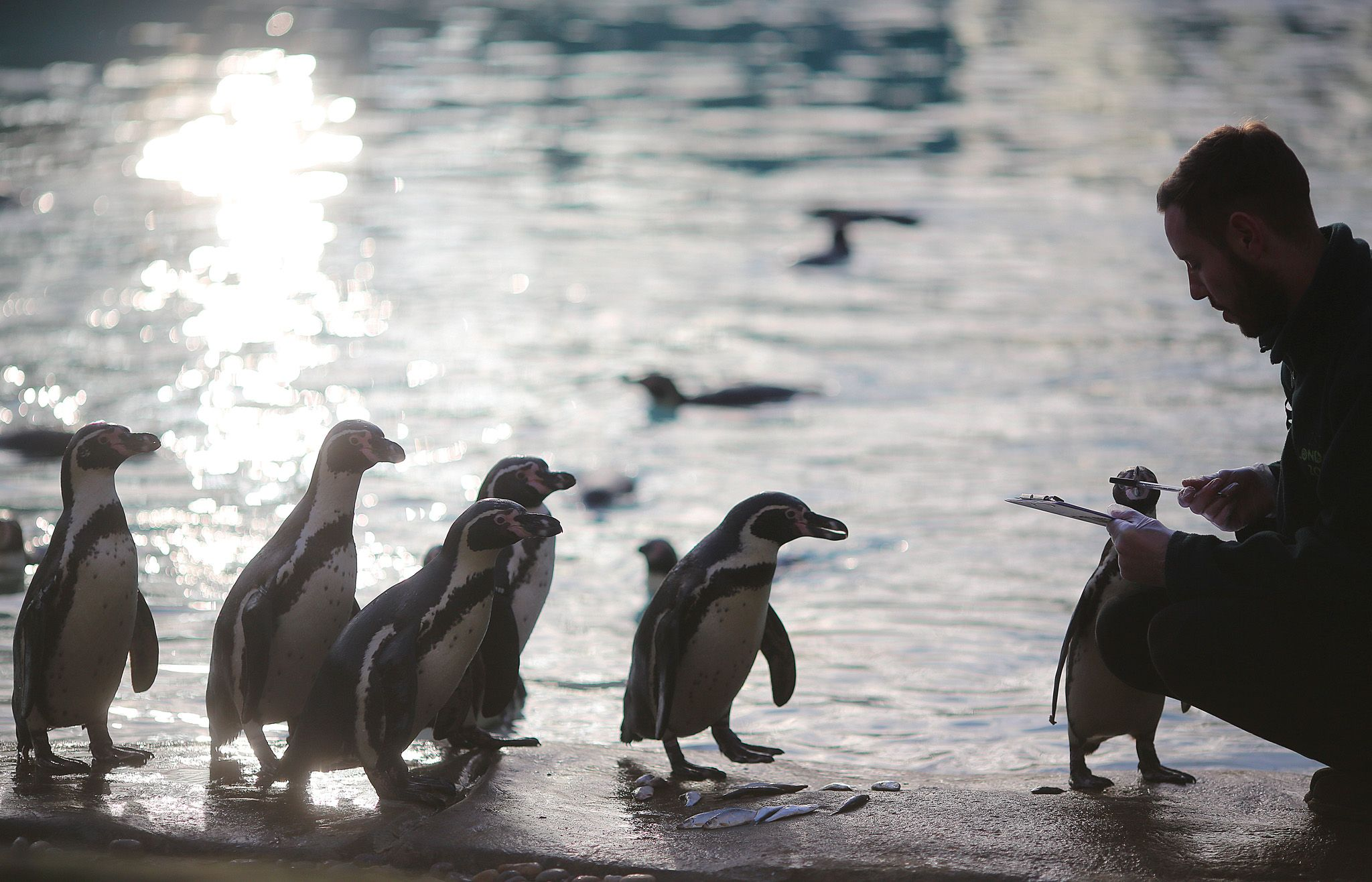 of penguins in his enclosure during London Zoo's annual