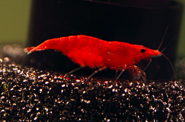 Taiwan Fire Shrimp 10 Cherry Shrimp Shrimp Prawn Shrimp