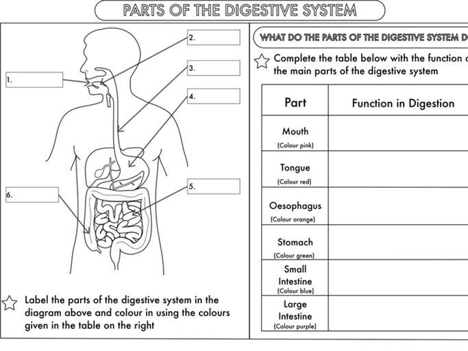 Year 4 Science Animals Including Humans Digestion Teeth And Food Chains Worksheets Digestive System Worksheet Body Systems Worksheets Science Worksheets