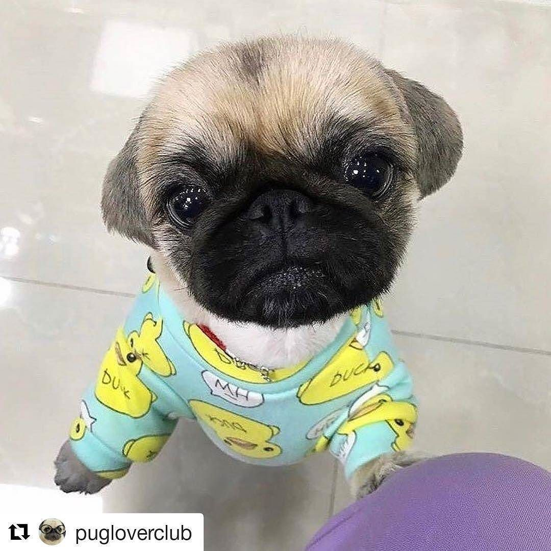 Follow And Like For Cute Pugs And Doggos If You Want A That Can