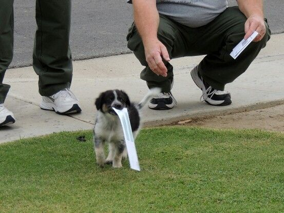 Bringing In The Mail At 8 Weeks Old Cattle Dog Heeler Dogs