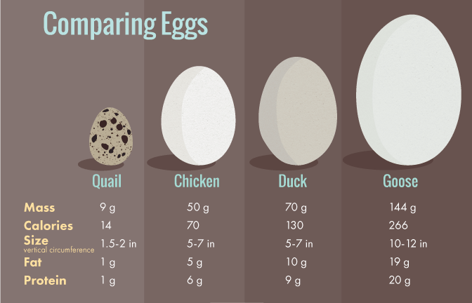 All You Need To Know About Duck Eggs Nutrition Benefits Raising Ducks And Hatching Duck Eggs Hatching Duck Eggs Egg Nutrition Duck Eggs