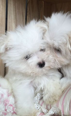 Little Teddies Dogs Puppies For Rehoming Strathcona County