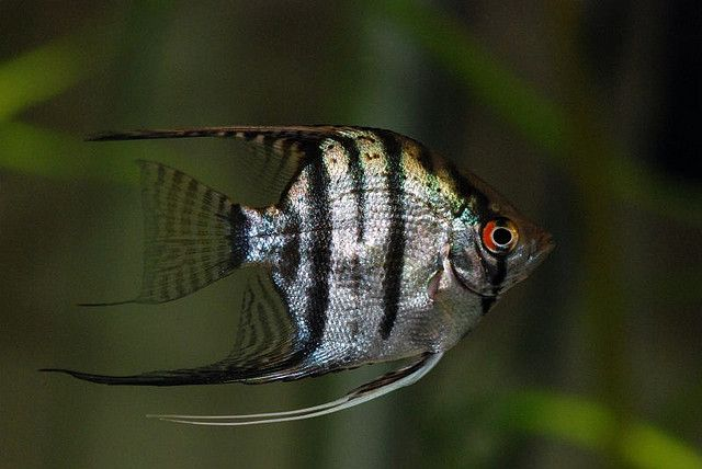 The Most Beautiful And Brilliantly Colored Coral Reef Fishes Angel Fish Fish American Cichlid