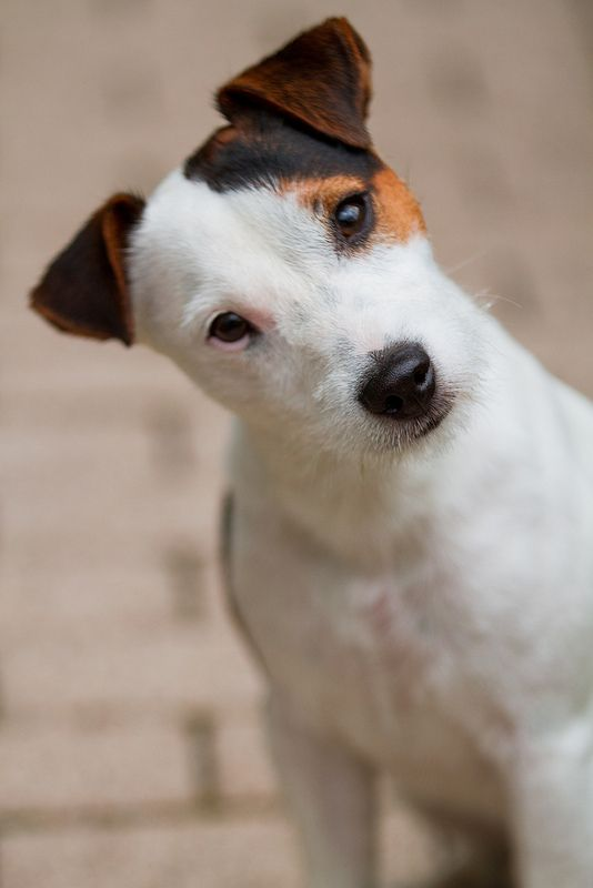 Jack Russell Terrier  we get this look from Cooley he's trying to understand.. huhhh