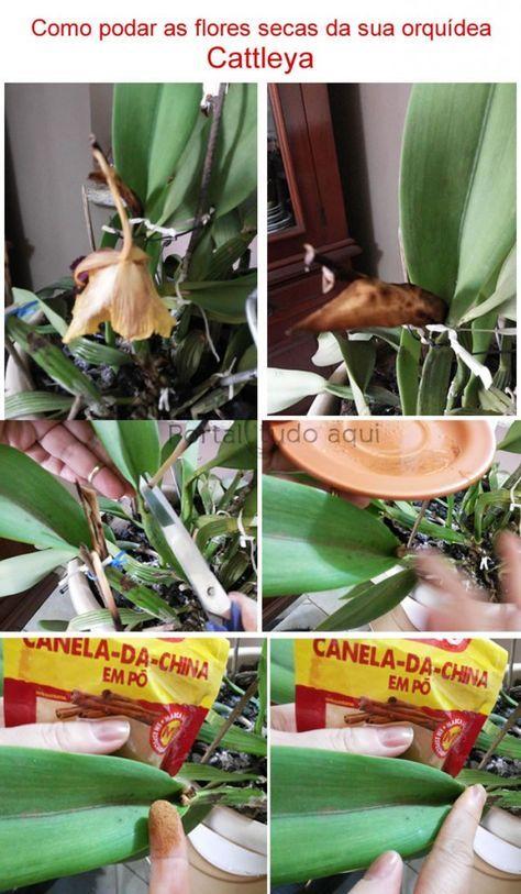 Aprenda Como Cultivar Orquídeas Cattleyas Orchideen