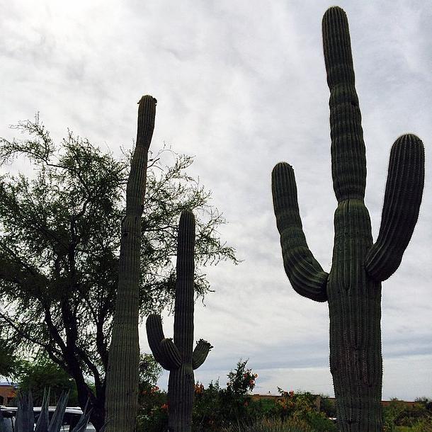 Isn't nature beautiful? Tucson Cacti   The Westin La Paloma Resort & Spa