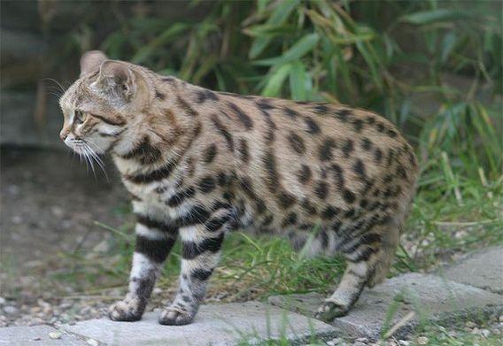 世界最小種の猫 くにゅんとかわいい クロアシネコ の赤ちゃん カラパイア 犬と猫 猫 ネコ