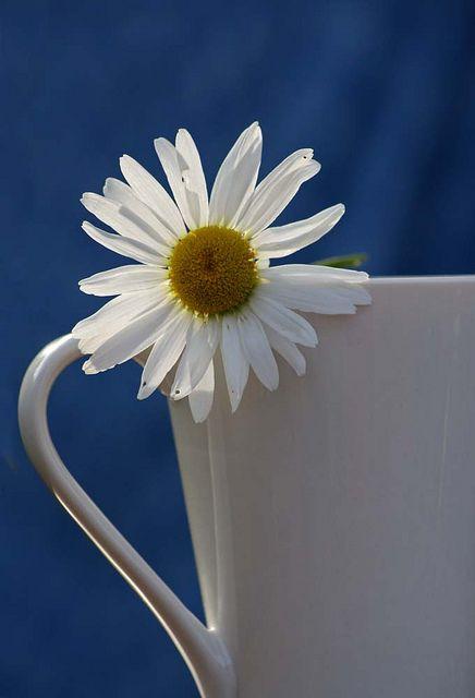 Daisy by haberlea, via Flickr