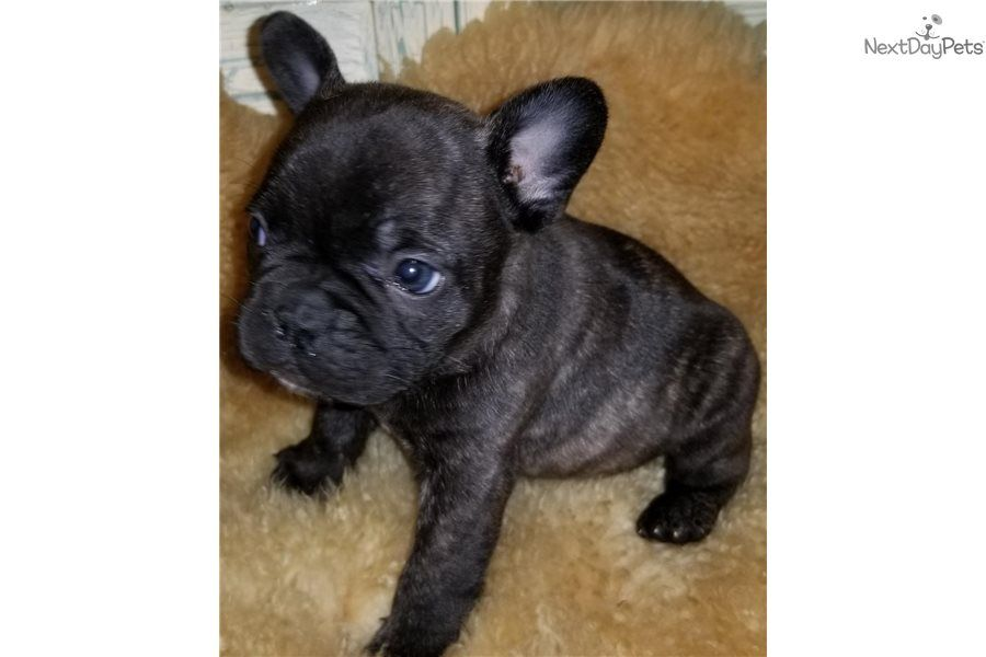 Lokie French Bulldog Puppy For Sale Near Houston Texas