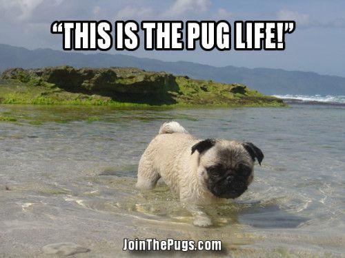 Summer Pugs Cute Pugs Pugs Pug Life