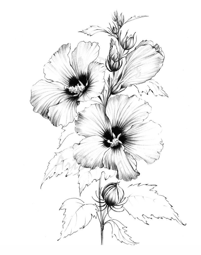 Hibiscus Sketch Line Drawing Hand Drawn Clipart Large Botanical
