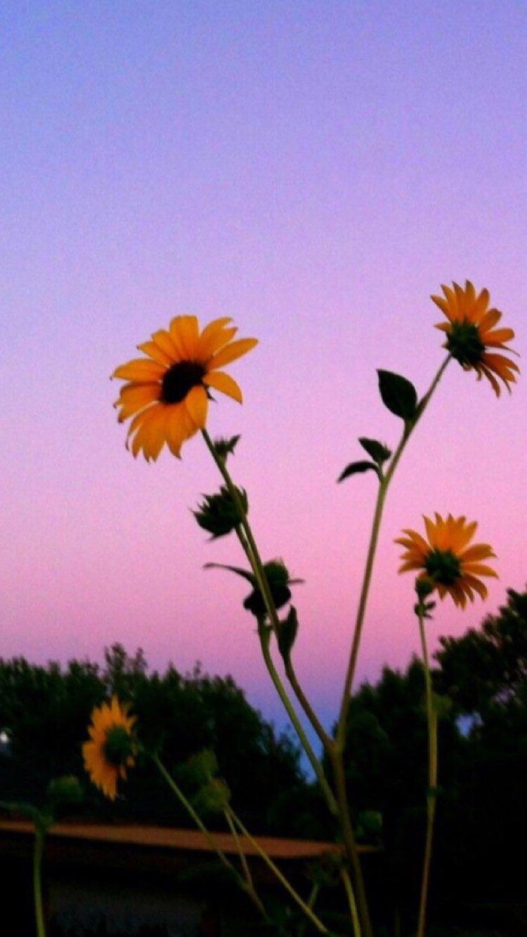 Aesthetic Sunflower Background Sunflower Iphone Wallpaper Sky Aesthetic Aesthetic Backgrounds