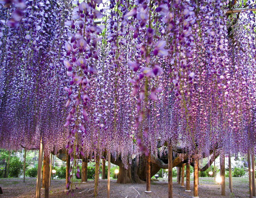 Wisteria In The Ashikaga Flower Park Honshu Japan Wisteria Tree Ashikaga Trees To Plant