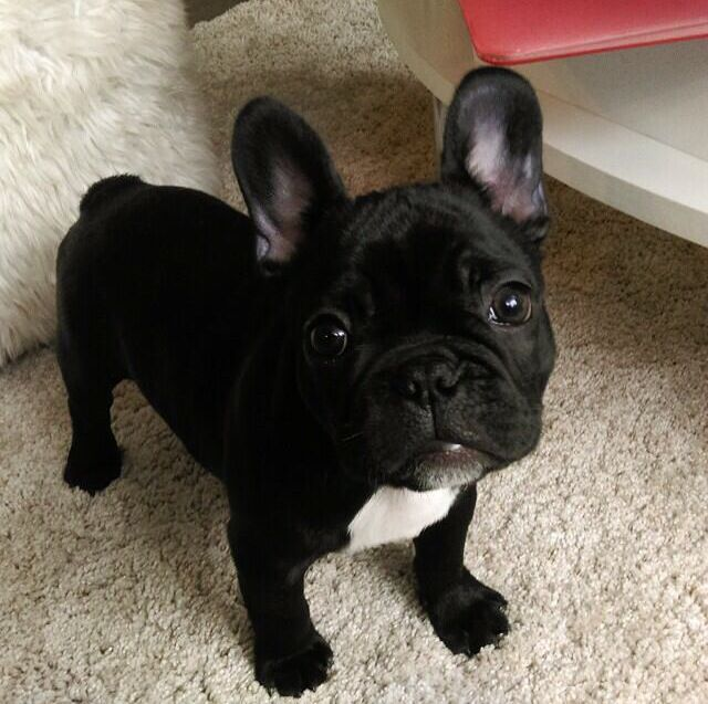 Frenchie Pug Puppies Black Pug Puppies Puppies