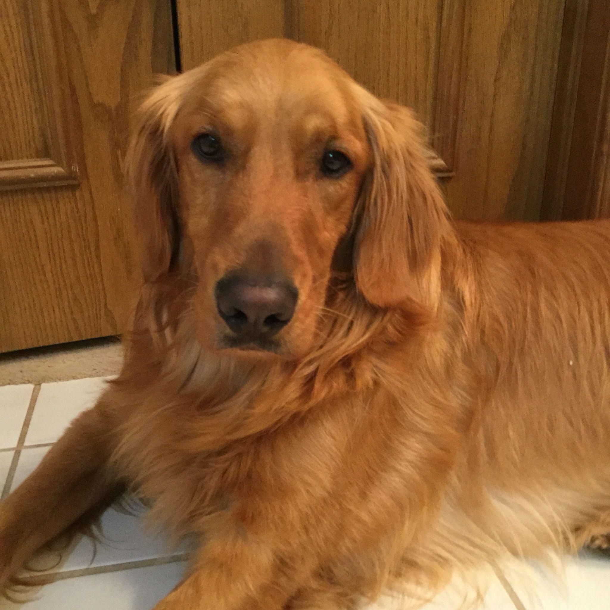 Best Breed A Golden Retriever Golden Retriever Golden Dog Cute